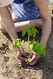 Pousse croissante de tomate, plantant Photographie stock libre de droits