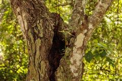 Pousse d'érable s'élevant sur le vieux tronc de chêne Photos libres de droits