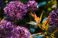 Pousse d'actinidia dans le jardin Photo libre de droits
