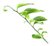 Pousse d'agrume-arbre Photo stock