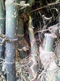 Pousse de bambou Photographie stock libre de droits