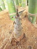 Pousse de bambou dans la forêt tropicale Photo stock