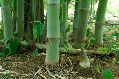 Pousse de bambou, pousse en bambou photo libre de droits