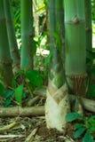 Pousse de bambou, pousse en bambou Photographie stock