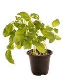 Pousse de Basil dans le pot de fleur d'isolement Photographie stock libre de droits