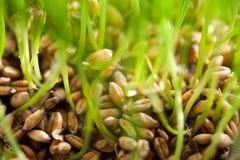 Pousse de blé Photographie stock
