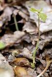 Pousse de chêne Photo libre de droits