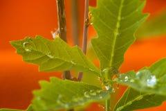 Pousse de chêne avec des gouttes de pluie image libre de droits