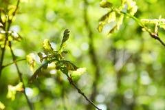 Pousse de chêne avec les feuilles vertes sur le fond de sol parmi la lumière du soleil de cônes images stock