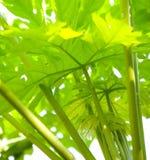 Pousse de la centrale de papaye Image libre de droits