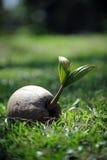 Pousse de noix de coco Photos stock