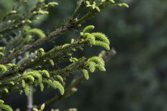 Pousse de pin image libre de droits