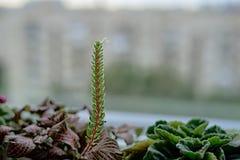 Pousse de plante verte sur une fenêtre Photo libre de droits