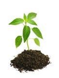 Pousse de poivron vert en terre Images stock