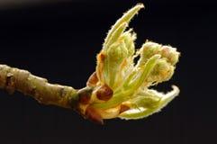 Pousse de pyrus communis commun de poire Photo libre de droits