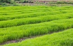 Pousse de riz Photos stock