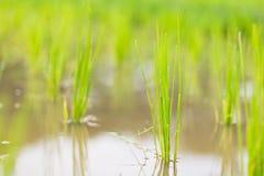Pousse de riz Image libre de droits