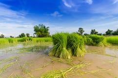 Pousse de riz pour la transplantation Photos stock