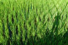 Pousse de riz prête à l'élevage Image stock