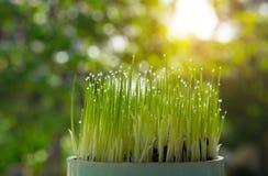 Pousse de riz s'élevant de l'élevage de graine Environnement vert de concept Image libre de droits