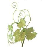 Pousse de vigne Image libre de droits