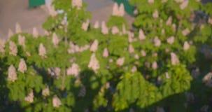 Pousse de vue aérienne des arbres de châtaigne de floraison pendant la journée chaude d'été avec le foyer brouillé banque de vidéos