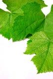 pousse des feuilles la vigne images libres de droits