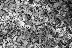 Pousse des feuilles le fond en noir et blanc Images stock