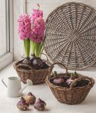 Pousse des jacinthes dans un panier Jardinage de fenêtre Photographie stock libre de droits