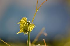 Pousse des raisins sauvages Photographie stock libre de droits