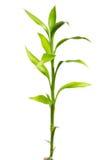 Pousse en bambou Images libres de droits