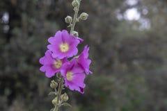 Pousse en gros plan de fleur épineuse de rose trémière Fond brouill? image libre de droits