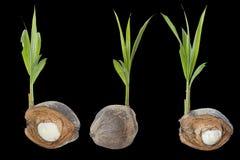 Bourgeon de noix de coco photographie stock image 30707052 - Arbre noix de coco ...