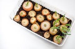 Pousse les oignons verts photos stock