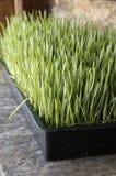 Pousse organique de Wheatgrass ou de blé Image stock