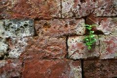 Pousse se levant sur la brique photos libres de droits
