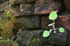 Pousse se levant sur le mur de briques Photo stock