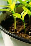 Pousse verte avec la feuille, élevage de feuilles Concept de ressort de la nouvelle vie Image stock