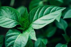 Pousse verte avec la feuille, élevage de feuilles Concept de ressort de la nouvelle vie Photos stock