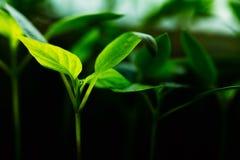Pousse verte avec la feuille, élevage de feuilles Concept de ressort de la nouvelle vie Image libre de droits