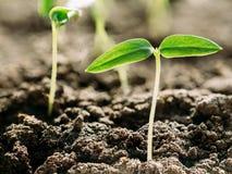 Pousse verte avec la feuille, élevage de feuilles Ressort, concept de la nouvelle vie Photo stock
