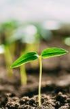 Pousse verte avec la feuille, élevage de feuilles Ressort, concept de la nouvelle vie Photos libres de droits
