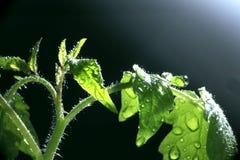 Pousse verte avec un pulvérisateur de l'eau autour Photo libre de droits