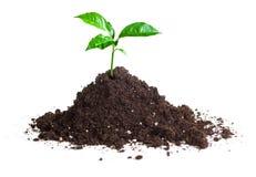 Pousse verte cultivée sur le sol Image libre de droits