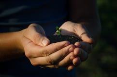 Pousse verte dans les mains d'une poignée Photographie stock libre de droits