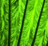 poussent des feuilles et sa fin de macro des veines b  Image stock