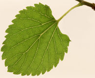 Poussent des feuilles une mûre, Photo stock
