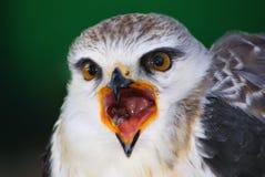 Pousser des cris perçants d'Ovambo Sparrowhawk image libre de droits