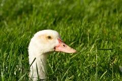 Pousser principal de canard hors de l'herbe Photos stock