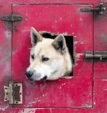 Pousser principal du ` s de chien de traîneau par la trappe d'un véhicule de transport images stock